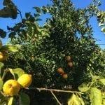Fresh fruits in our Garden